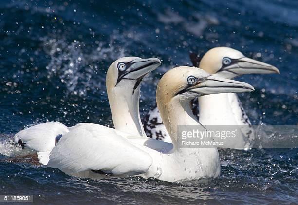 northern gannets swimming. - jan van gent stockfoto's en -beelden