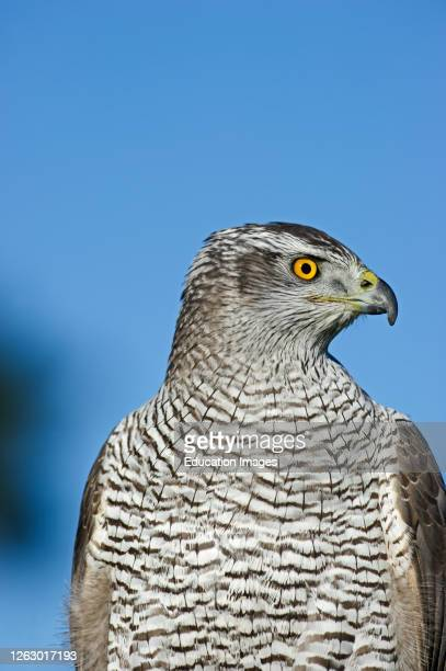 Northern Goshawk, Accipiter gentilis, falconers bird Lincolnshire, UK.