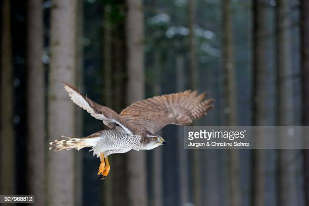 northern goshawk (accipiter gentilis), adult in winter, in snow, in flight, zdarske vrchy, bohemian-moravian highlands, czech republic - goshawk stock photos and pictures