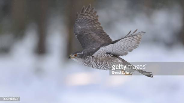 northern goshawk (accipiter gentilis), adult male, flying in a spruce forest, winter, bohemian forest, czech republic - goshawk stock photos and pictures