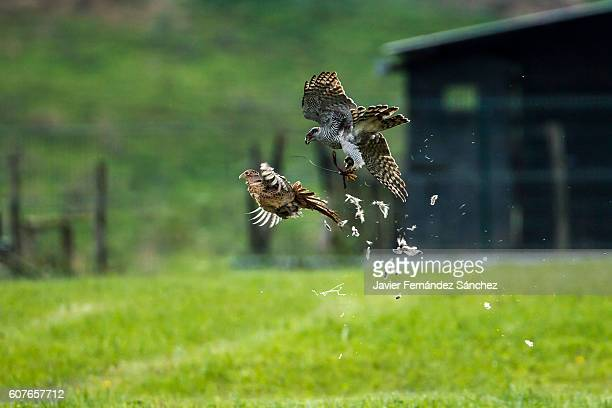a northern goshawk (accipiter gentilis) at the time of hunting a pheasant in flight, in a competition of falconry. - goshawk stock photos and pictures