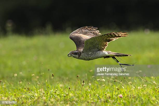 a northern goshawk flying. falconry. - goshawk stock photos and pictures