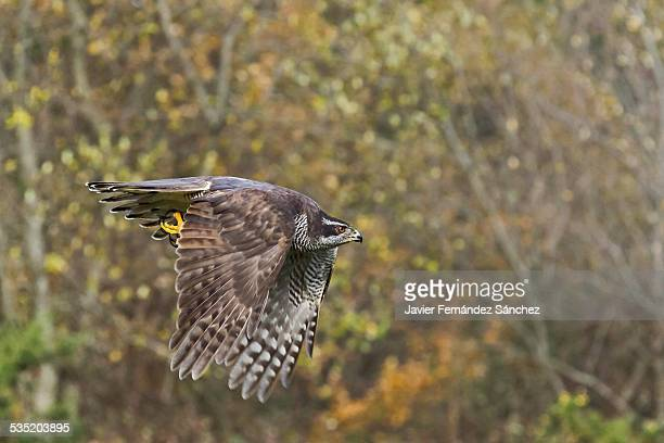 northern goshawk flying in the forest - goshawk stock photos and pictures