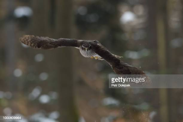northern goshawk flying - czech hunters stock-fotos und bilder