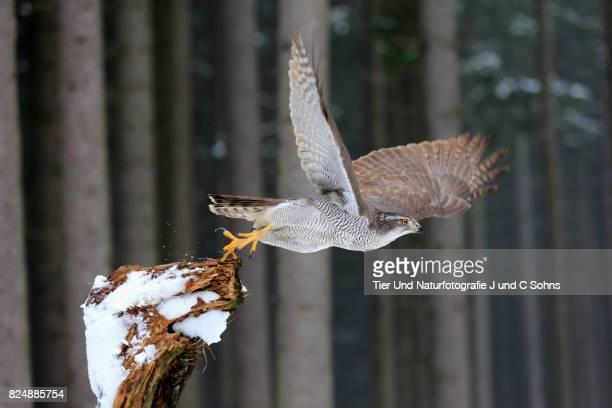 northern goshawk, (accipiter gentilis) - goshawk stock photos and pictures