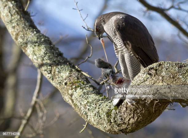 a northern goshawk (accipiter gentillis) shatters and eats a pigeon on the branch of a forest tree. - goshawk stock photos and pictures