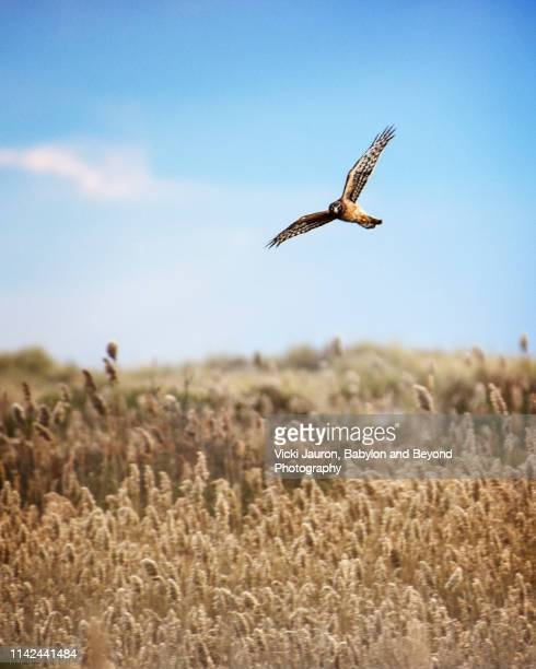 northern harrier flies above fairy tale scene at jones beach - birds_of_prey stock pictures, royalty-free photos & images