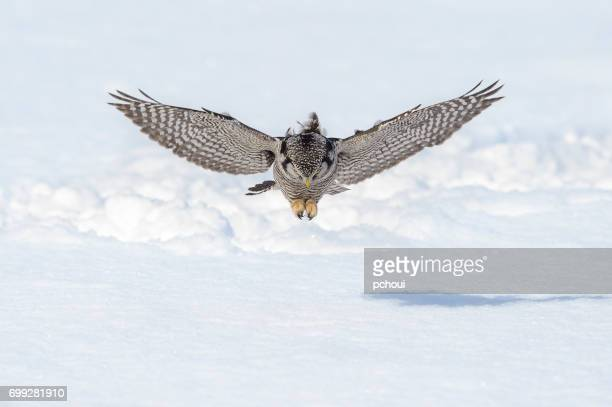Northern Hawk Owl, surnia ulula, rare bird hunting