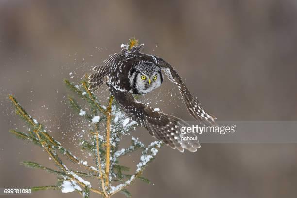 Norte Halcón lechuza, surnia ulula, rara avis en vuelo