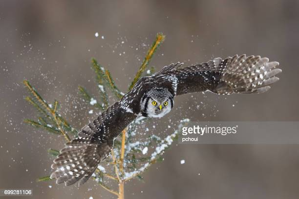 Northern Hawk Owl, surnia ulula, rare bird in flight