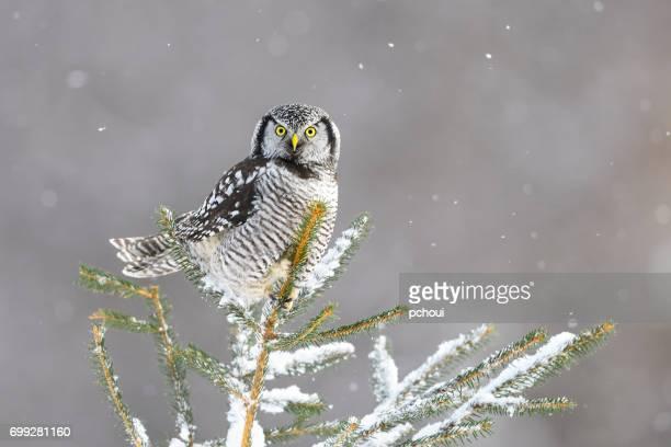 northern hawk owl, surnia ulula, rare bird perching - bird stock photos and pictures