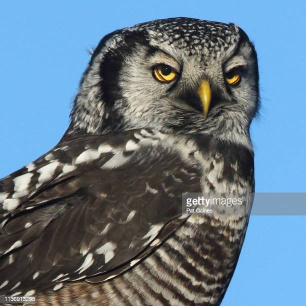 northern hawk owl with wry expression - meme stock pictures, royalty-free photos & images