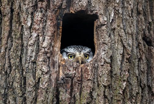 Northern hawk-owl 1214791429