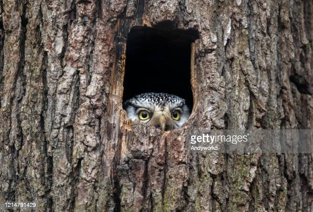 northern hawk-owl - animal themes stock pictures, royalty-free photos & images