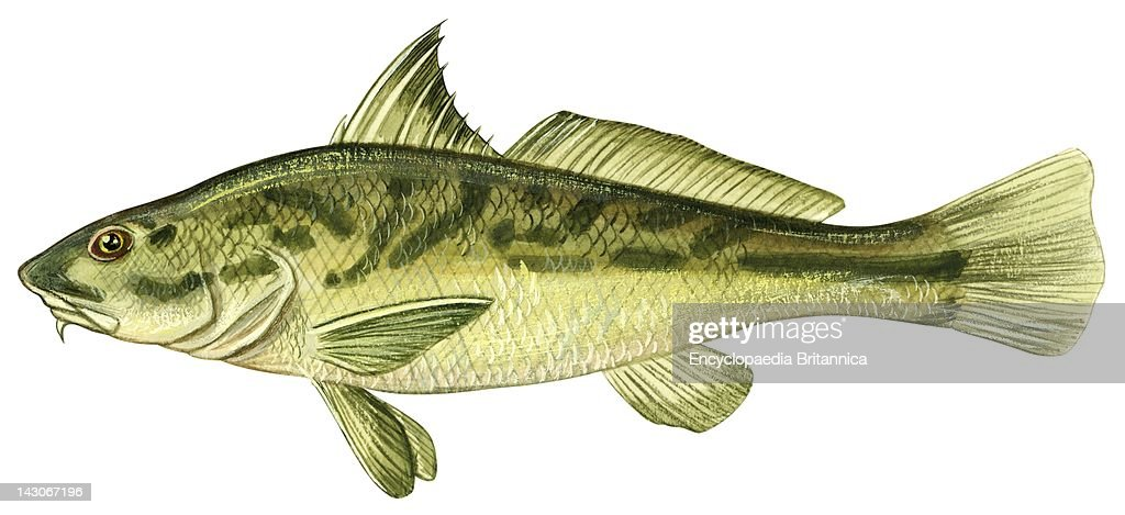 Kingfish | Northern Kingfish Pictures Getty Images