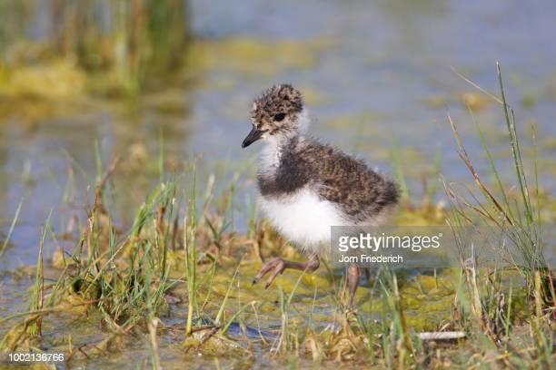 Northern Lapwing, Peewit or Green Plover (Vanellus vanellus) chick, Neusiedler Lake, Austria