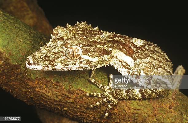 Northern leaftail gecko Saltuarius cornutus portrait showing patterned eyelid Large gecko Julatten Queensland Australia
