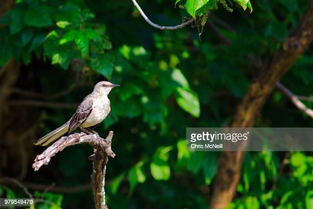 Northern Mockingbird Mimus Polyglottos Perching On Tree Branch