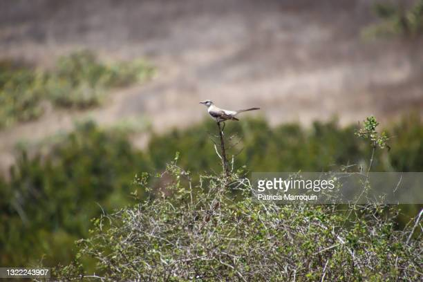 northern mockingbird - thousand oaks stock pictures, royalty-free photos & images