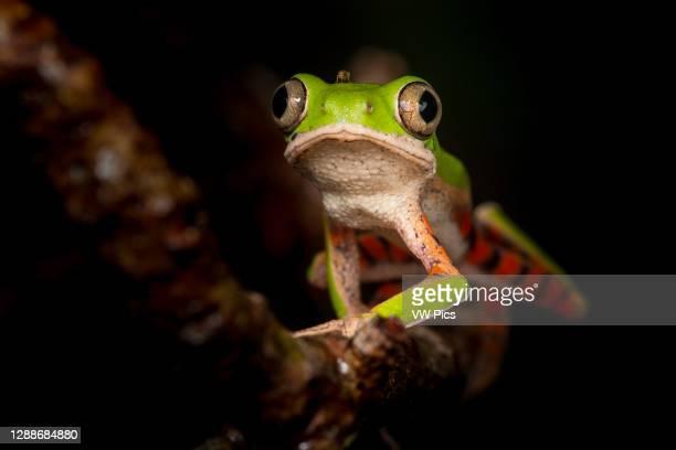 Northern orange-legged leaf frog or tiger-legged monkey frog in the family Phyllomedusidae found in South America.