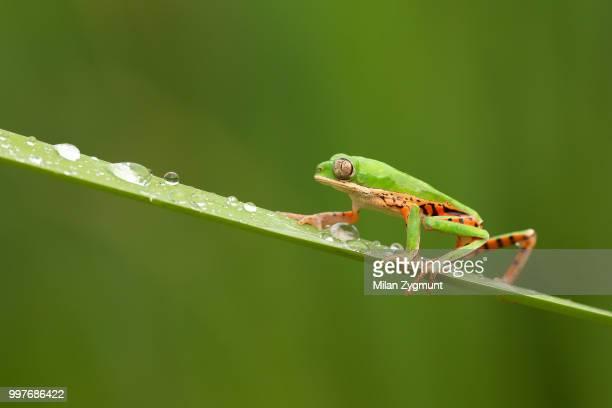 Northern orange-legged leaf frog