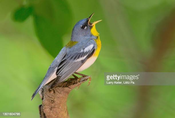 northern parula during migration in pennsylvania - warbler stock pictures, royalty-free photos & images