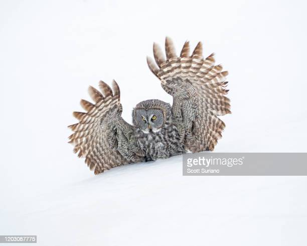 Great Gray Owl Photos and Premium High Res Pictures ...