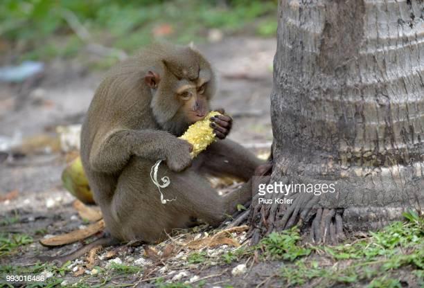 northern pig-tailed macaque (macaca leonina) feeding on a corn cob, lamai, koh samui, thailand - golf von thailand stock-fotos und bilder