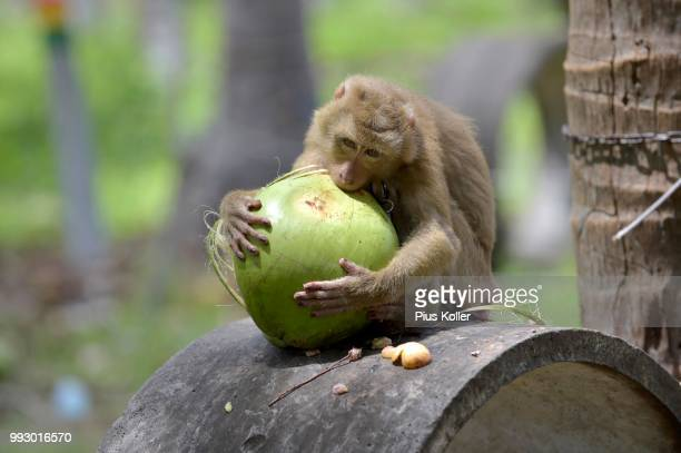 northern pig-tailed macaque (macaca leonina) peeling a coconut, lamai, koh samui, thailand - surat thani province stock pictures, royalty-free photos & images