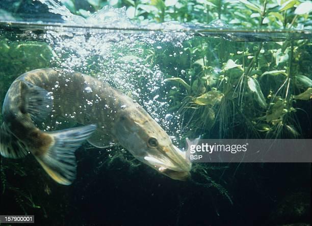 Northern Pike Northern Pike Esox LuciusEsox Lucius Northern Pike Pike Esocid Bony Fish Fish