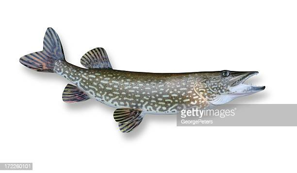 northern pike - pike fish stock pictures, royalty-free photos & images