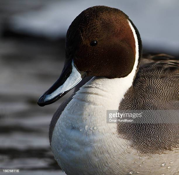 Northern Pintail - Anas acuta - Grafönd