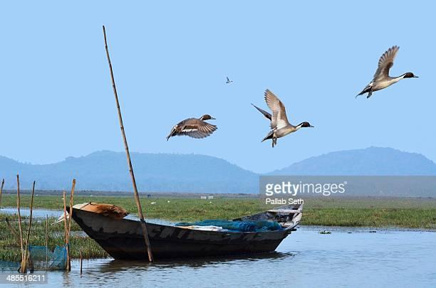 northern pintail at mangalajodi marshland - odisha - fotografias e filmes do acervo