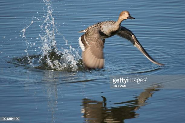 Northern Pintail Duck female taking off