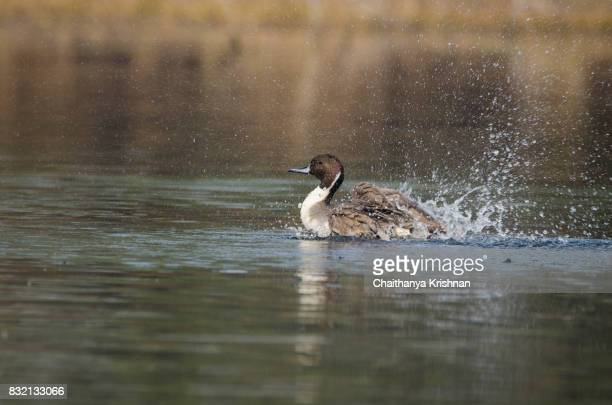 Northern pintail duck taking bath