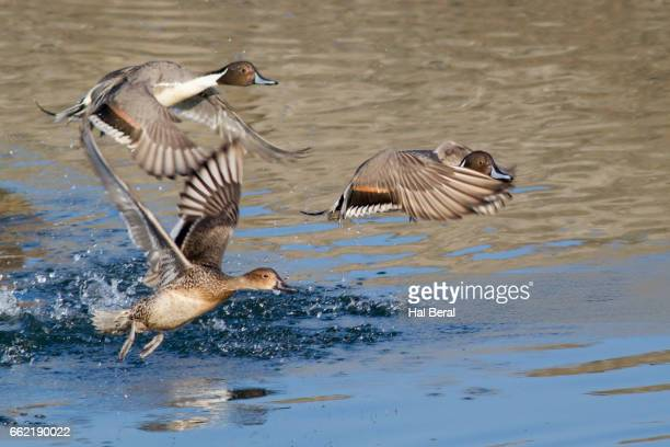 Northern Pintail Ducks taking off
