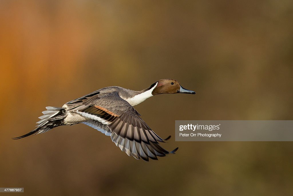 Northern pintail : Stock Photo