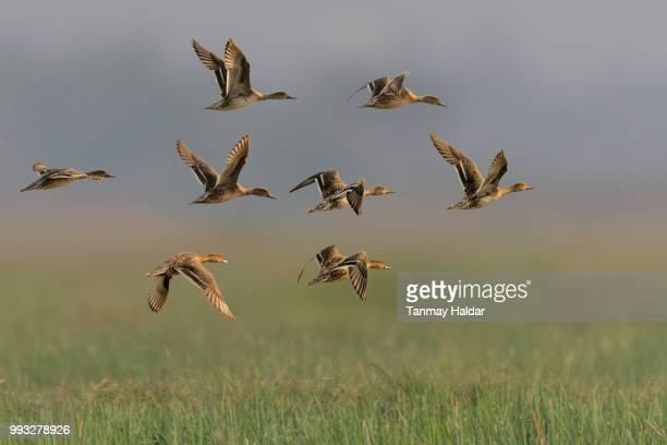 northern pintail - stormo di uccelli foto e immagini stock