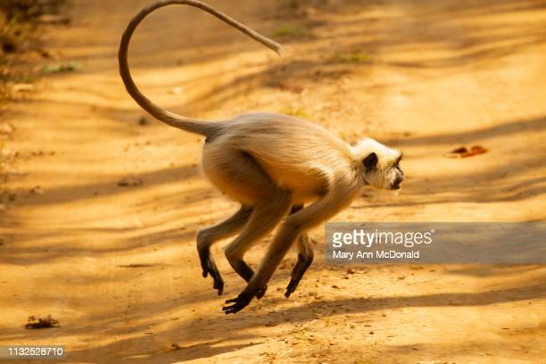 northern plains langur, aka common langur, hanuman langur - madhya pradesh stock pictures, royalty-free photos & images