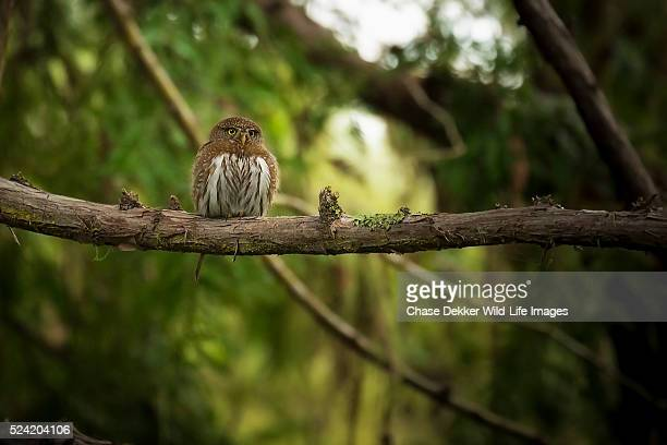 northern pygmy owl - nautre stock pictures, royalty-free photos & images