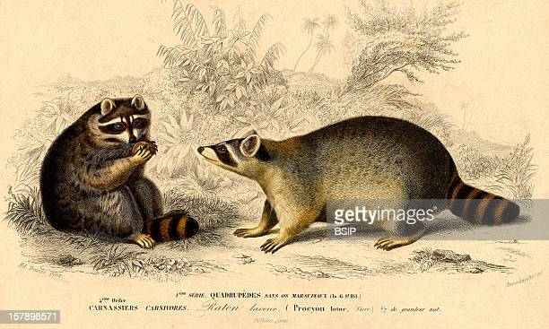 Northern Raccoon Ancient EngravingProcyon Lotor Northern Raccoon Raccoon Procyonid Mammal