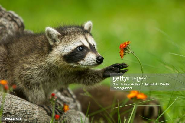 northern raccoon reaching for flower - raccoon stock pictures, royalty-free photos & images