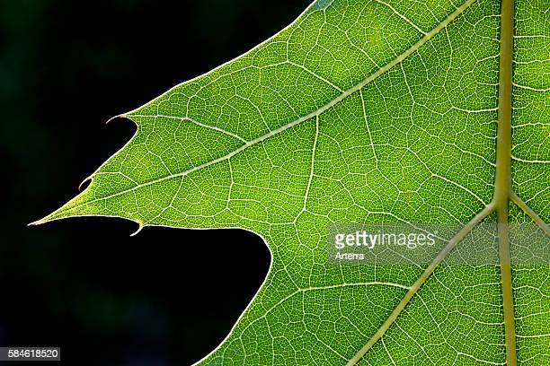 Northern red oak / champion oak close up of leaf