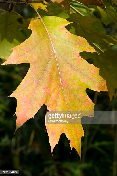 Northern Red Oak or Champion Oak -Quercus rubra-, leaf