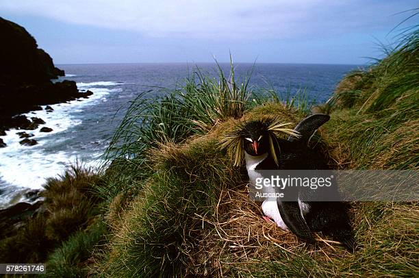 Northern rock hopper penguin Eudyptes moseleyi incubating Gough Island South Atlantic