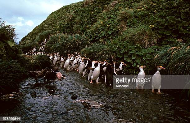 Northern rock hopper penguins Eudyptes moseleyi colony Almost the entire population of the species live on Tristan da Cunha and Gough Island Gough...