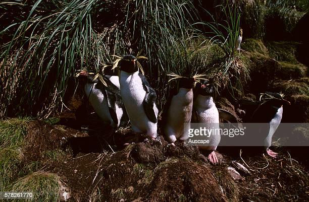 Northern rock hopper penguins, Eudyptes moseleyi, group, Gough Island, South Atlantic.