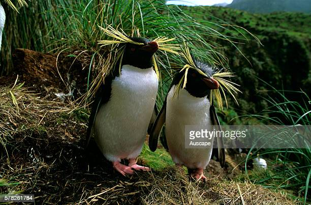 Northern rock hopper penguins Eudyptes moseleyi pair Gough Island South Atlantic