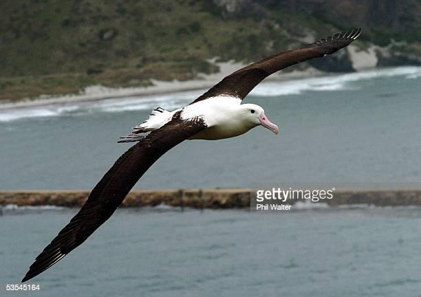 Northern Royal Albatross at the Taiaroa Heads Albatross Colony near Dunedin New Zealand Sunday March 06th 2005