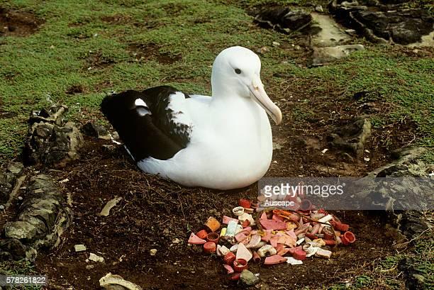 Northern royal albatross Diomedea sanfordi beside heap of regurgitated marine debris Chatham Island New Zealand Sub Antarctic